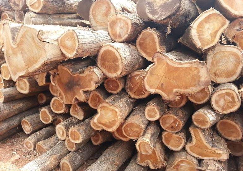 Gỗ Teak là gỗ gì? Các ưu & nhược điểm của gỗ Tếch