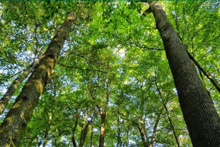 Cây gỗ xoan đào phát triển