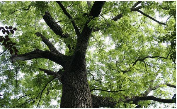 Hình dàng và vẻ bên ngoài của cây gỗ mun