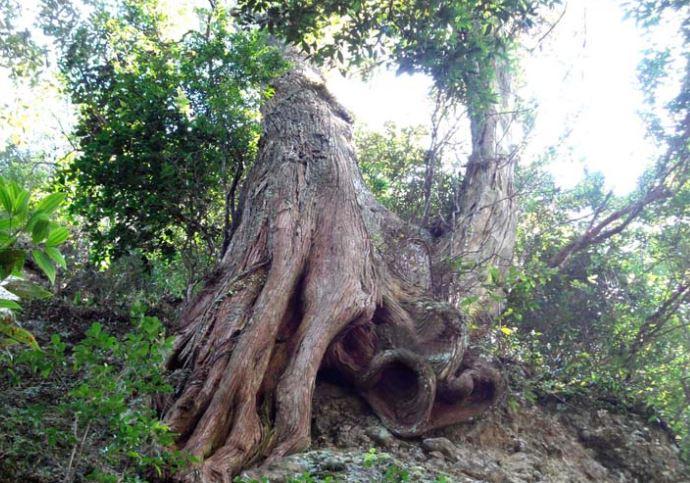 Cây gỗ bách xanh trong tự nhiên