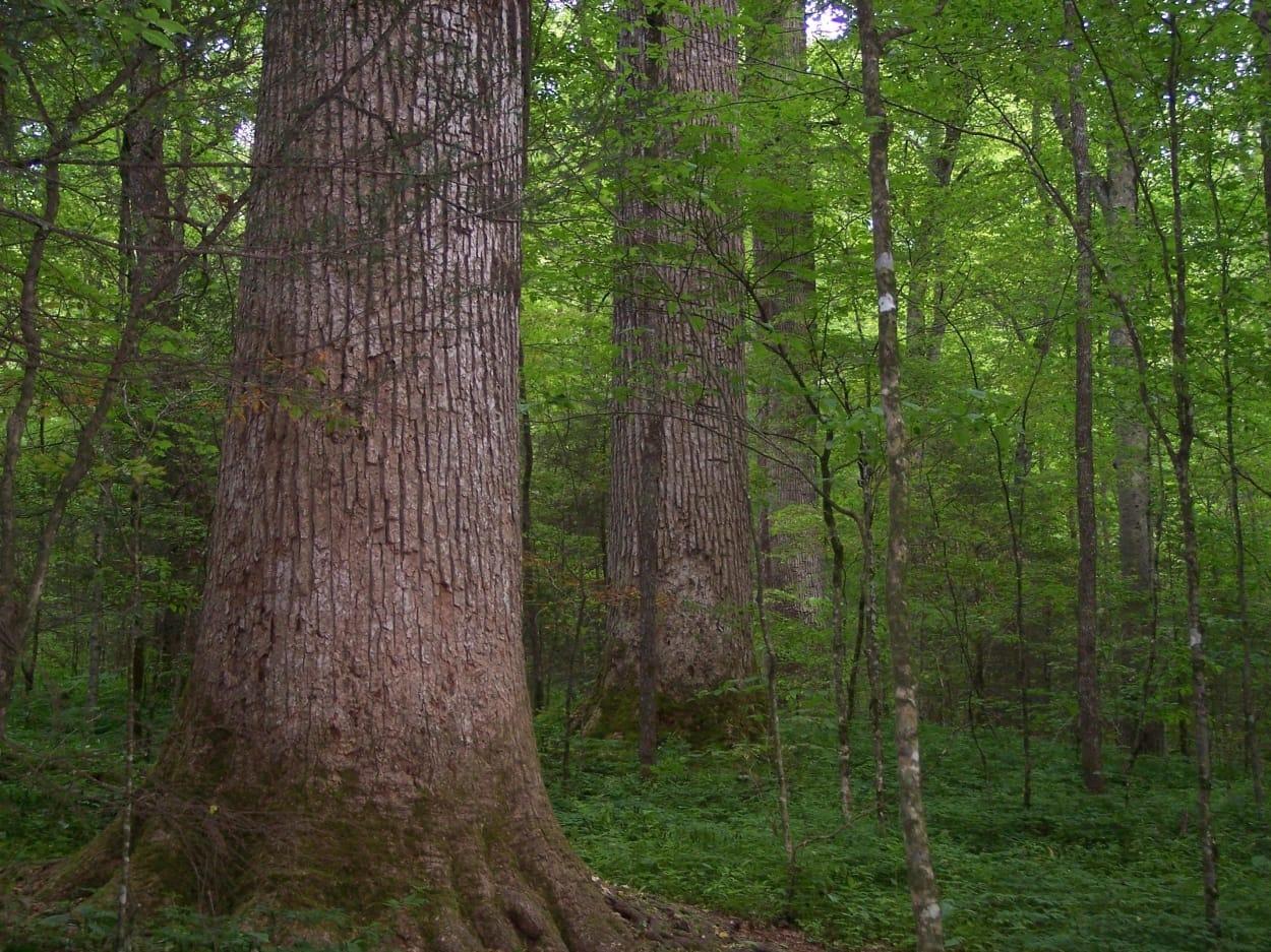 Cây gỗ gụ trong rừng tự nhiên