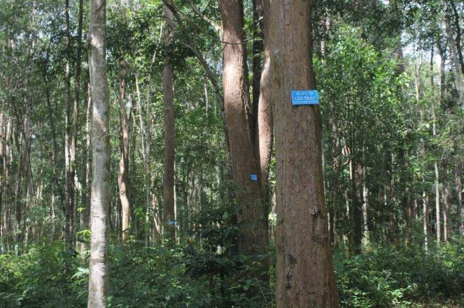 Hình ảnh cây gỗ trắc ngoài tự nhiên