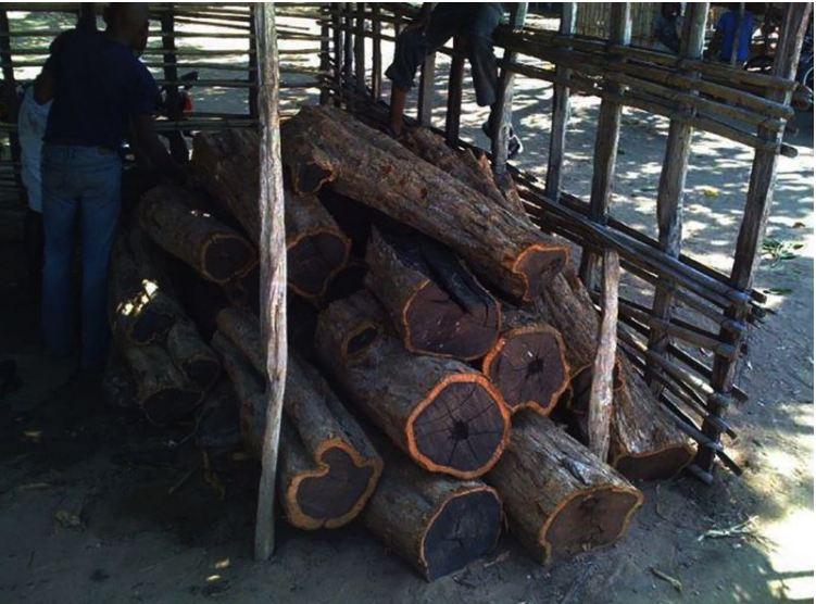 Gỗ mun sinh trưởng chậm và là loại gỗ có thời gian khai thác lâu