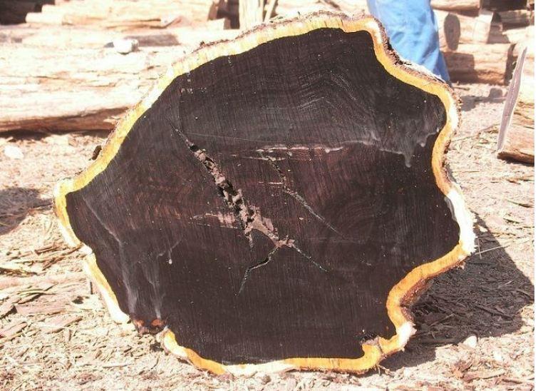 Gỗ mun và vẻ bề ngoài của cây gỗ mun