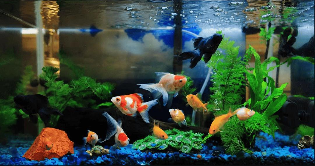Số lượng cá bao nhiêu con là hợp phong thủy