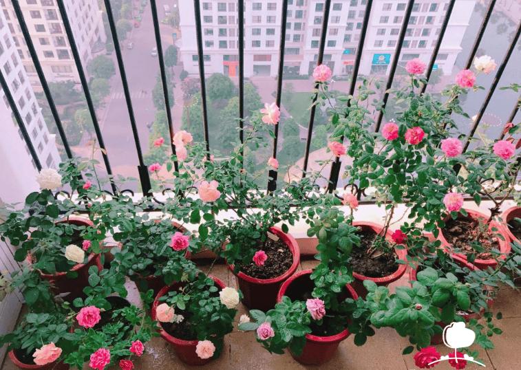 tạo một vườn hoa hồng ngay tại ban công